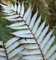 The silver fern, a symbol of New Zealand